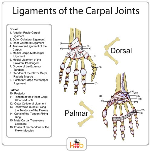 King Brand Ligaments of the Carpal Joints Labelled Diagram Palmar Dorsal Wrist Injury