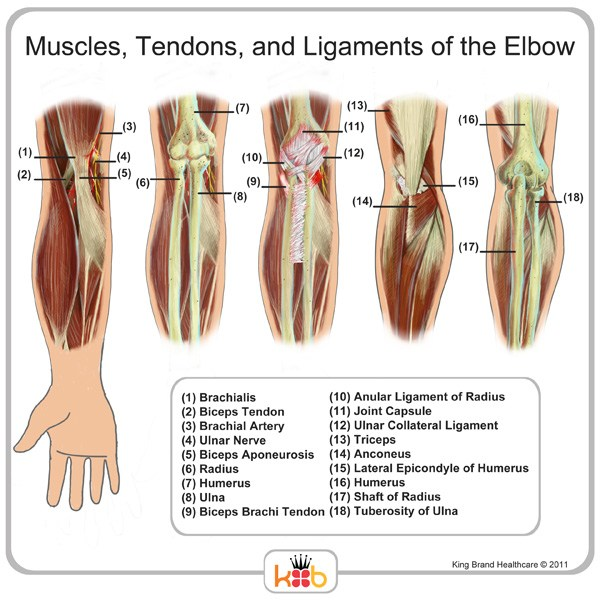 Elbow Muscles Ligaments and Tendons Labelled Diagram Image King Brand