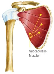 Subcapularis Muscle Diagram Illustration by King Brand