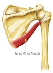 Teres Minor Muscle Diagram Illustration by King Brand