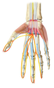 An illustration of just the bones and tendons in a hand
