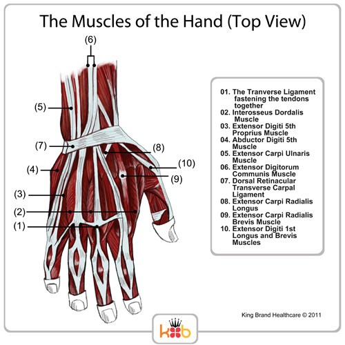 King Brand Top View Hand Muscles Diagram Labelled Muscles Ligaments