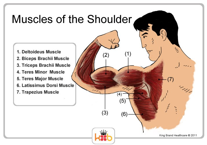 King Brand Muscles and Tendons of the Shoulder Labelled Diagram