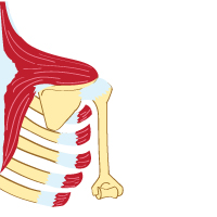 King Brand Trapezius Muscle and Serratus Illustration